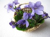 Duftveilchen, Veilchen, Heilpflanze des Jahres 2007, Märzveilchen