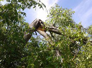 geknickter Hauptast an einem Walnussbaum