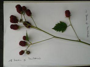 zur Ertragsschätzung werden die Früchte gezählt und gewogen
