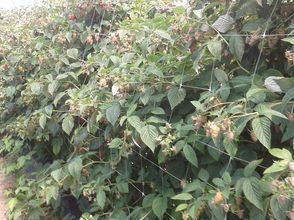 Himbeerpflanzen