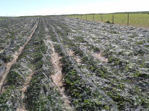 Erdbeerpflanzen mit einem Hagelschutznetz abgedeckt