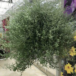 Helichryssum Silverstar