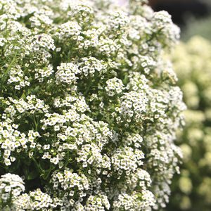 Lobularia Sweetness white