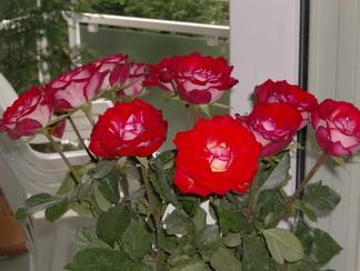 Hier ist ein Rosenstrauß abgebildet.